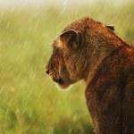 Постер, плакат: Lioness under rain in the wild