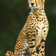Wild africcheetah — Stock Photo #7297601