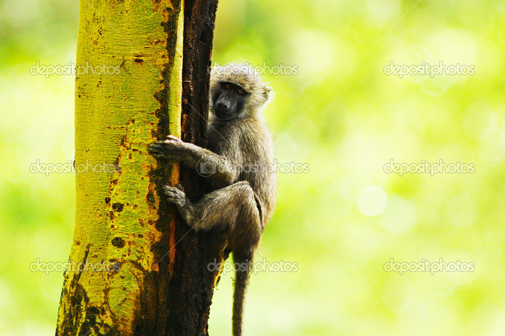 Wild African monkey portrait, animal hanging on the tree over natural green background, Kenya national park reserve, safari — Stock Photo #7297543