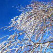 Tree branches covered with snow — Stock Photo #7581206