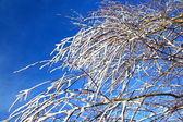 Větve pokryté sněhem — Stock fotografie