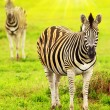 Stock Photo: Wild zebras of Africcontinent