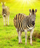 Wild zebras of African continent — Stock Photo