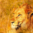Beautiful wild african lion — Stock Photo #7790892