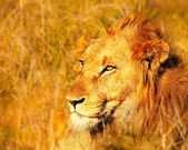 Beautiful wild african lion — Stock Photo