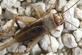 Detail of a brown cricket — Stock Photo