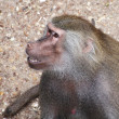 Papion baboon sitting quietly — Stock Photo