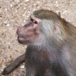Stock Photo: Papion baboon sitting quietly