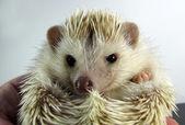 Posing little African hedgehog — Foto de Stock