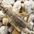 Detail of the body of a cricket — Stock Photo