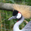 Stock Photo: Beautiful and colorful Grey Crowned Crane