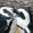 Magellanic penguins sympathetic — Stock Photo