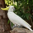 Sulfur Crested cockatoo — Stock Photo