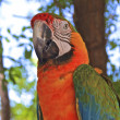 Hybrid Macaw Close-Up — Stock Photo #7677478