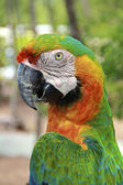 Hybrid Macaw Close-Up — Stock Photo
