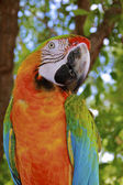 Hybrid Macaw Close-Up — Stok fotoğraf