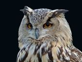 Horned Owl Isolated Portrait — Stock Photo