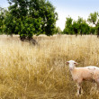Mediterranean sheep on wheat and almond trees field — Stock Photo