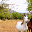 Brown and white horses in Majorca mediterranean field — Stock Photo