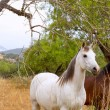 Brown and white horses in Majorca mediterranean field - Stock Photo
