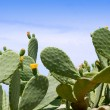 Chumbera nopal cactus plant typical mediterranean — Stock Photo