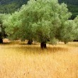 Agriculture from mediterranean Majorca wheat with olive - Stock Photo