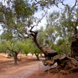 Ancient mediterranean olive trees from Majorca island — Stock Photo
