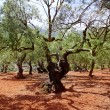 Olive trees from Majorca with red clay soil — Stock Photo