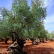 Ancient mediterranean olive trees from Majorca island — Stock Photo
