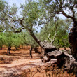 Olive trees from Majorca with red clay soil — Stock Photo #6837480