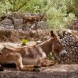 Donkey mule in s mediterranean olive tree field of Majorca — 图库照片