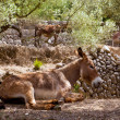 Donkey mule in s mediterranean olive tree field of Majorca — Stockfoto #6837578