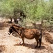 Donkey mule in s mediterranean olive tree field of Majorca — Stockfoto #6837709