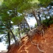 Mediterranean pine forest track with tree roots - Stock Photo