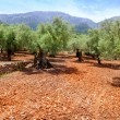 Olive trees from Majorca with red clay soil — Stock Photo #6837841