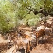 Donkey mule in s mediterranean olive tree field of Majorca — Stock Photo