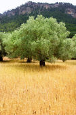 Agriculture from mediterranean Majorca wheat with olive — Stock Photo