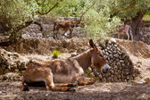 Donkey mule in s mediterranean olive tree field of Majorca — Stock Photo