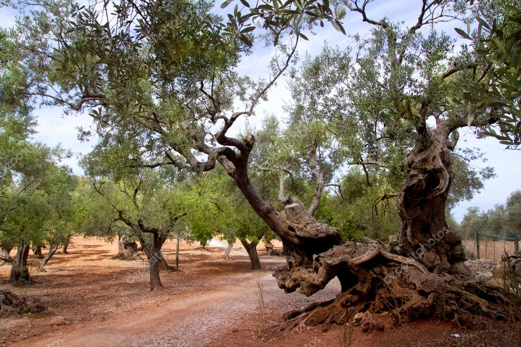 Ancient mediterranean olive trees from Majorca island in Spain  Stock Photo #6837262