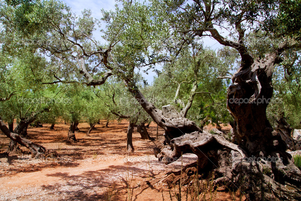 Olive trees from Majorca with red clay soil from Balearic islands in Spain — Stock Photo #6837480