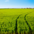 Green grass rice field in Spain Valencia - Stock Photo
