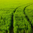 Green grass rice field in Spain Valencia — Stock Photo
