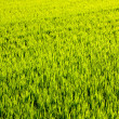 Green grass rice field in Valencia Spain - Стоковая фотография