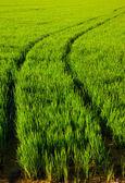 Green grass rice field in Spain Valencia — Stock Photo
