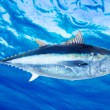 Bluefin tuna Thunnus thynnus saltwater fish - Stock Photo