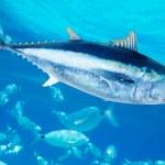 Bluefin tuna Thunnus thynnus saltwater fish — Stock Photo