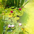 Nenufar Water Lilies on green water pond - Zdjcie stockowe
