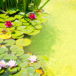 Nenufar Water Lilies on green water pond - Stock Photo