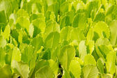 Lettuce green little sprouts growing — Stock Photo