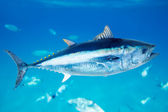 Bluefin tuna Thunnus thynnus saltwater fish — Stock Photo